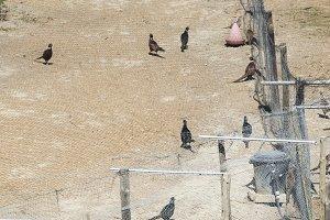 Farm for breeding pheasants