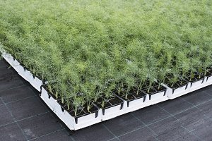 Dill in pots i