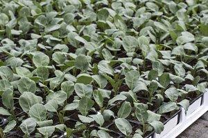 Broccoli planting