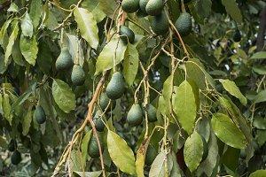 Avocado on a branch.