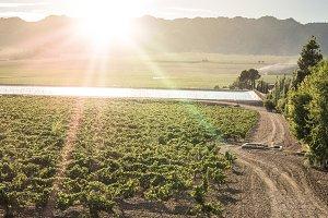 Vine grapes on sun backlight