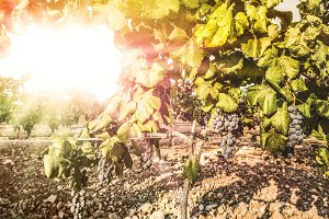 Vine grapes on sun backlight