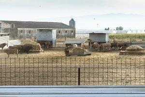 Bulls in a farm.