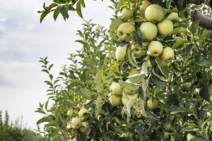 Green apples tree