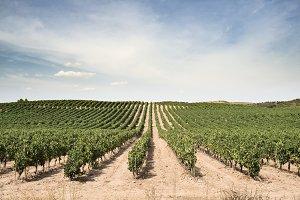Vine grapes panorama