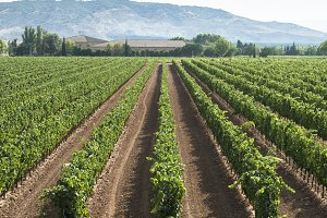 Vineyards in a rows and winery