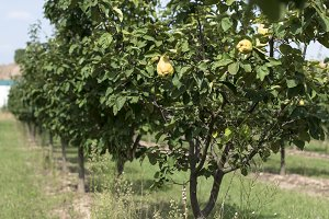 Quince orchard.