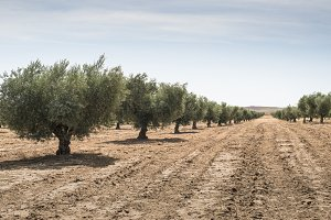 Olive farm. Olive trees in row