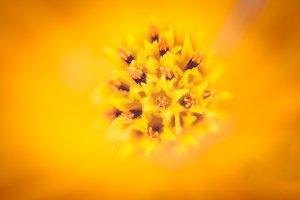 Soft macro focus of pollen of cosmos