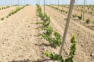 Young vineyard in row.
