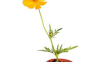 Cosmos flower stalk in small pot on