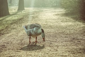 Goose in a foggy park