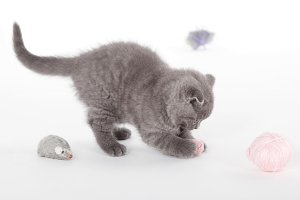 grey kitty