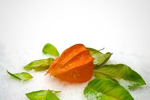 Physalis on the snow