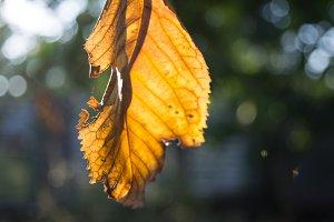 Autumn victim