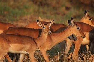 Impalas (Aepyceros melampus)