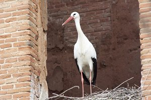 European white stork