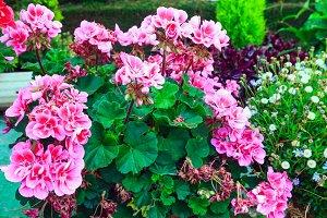 Pink Pelargonium plant.