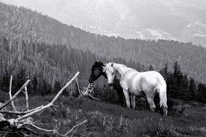 Carpathian wild horses on the meadow