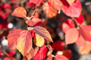 Red fall leaves for background