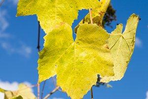 Fading yellow grape leaves on vine