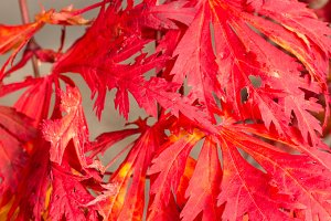 Bright red fall leaves