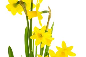 Yellow daffodil flowers in bloom