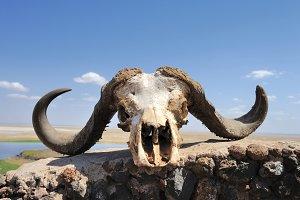 Bufallo skull
