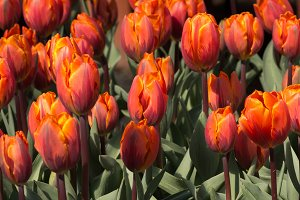 Colorful Spring blooming tulips
