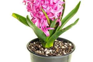 Pink Hyacinth in bloom isolated