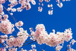 Pink cherry tree flowers with sky