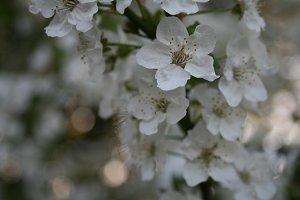 Cherry Plum #1