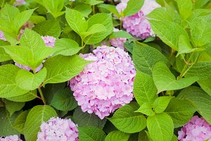 pink flower hydrangea blooming