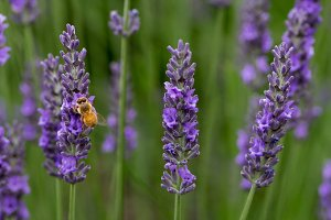 Lavendar flowers with bee