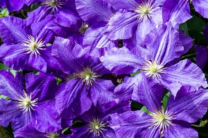 Clematis flowers as background
