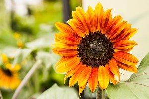 Orange sunflower bloom