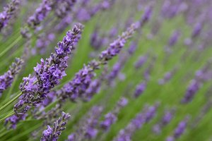 Field of lavender blooms