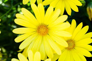 Bright yellow daisies in bloom