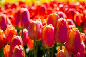 Tulip plants with flowers in bloom