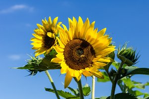 Sunflower plant with multiple blooms