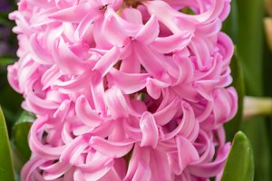 Pink Hyacinth flower in full bloom