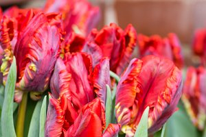 Red parrot tulips in bloom