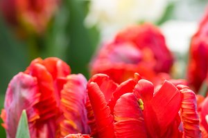 Group of red parrot tulips in bloom