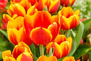 Red and yellow tulips in flower