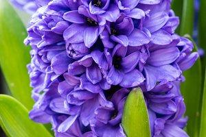 Purple or blue Hyacinth flower