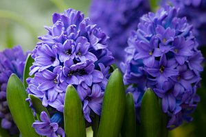 Purple or blue Hyacinth flowers