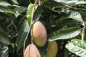 Mangoes on branch