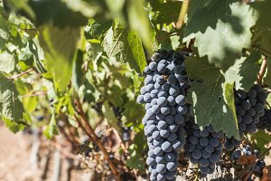 Red wine grapes.