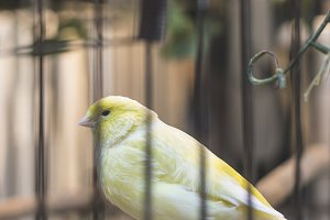 Yellow bird in a cage