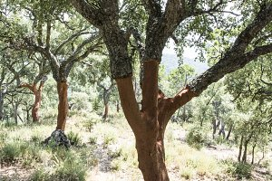 Cork tree forest.
